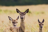 Red Deer Three Hinds Photographic Print