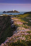 Godrevy Thrift in Flower Photographic Print
