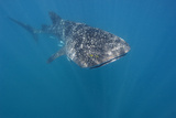 A Whaleshark the World's Largest Fish with Pilotfish Fotografisk tryk
