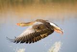 Greylag Goose in Flight Photographic Print