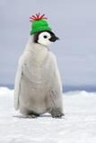 Emperor Penguin Wearing Woolly Hat Fotografisk tryk