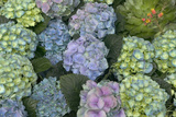 Hydrangea Close-Up of Flowers Photographic Print