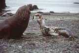 Leopard Seal (On Right), Facing Up to Southern Photographic Print