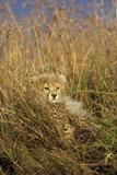 Cheetah Cub in Grass Photographic Print