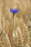 Cornflowers in Cornfield Photographic Print