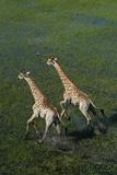 Southern Giraffe Aerial View of Giraffe Running in Water Photographic Print