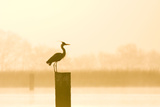 Grey Heron on Post at Sunrise Photographic Print