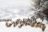 Sheep Crossbreds in Snow Reproduction photographique