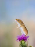Harvest Mouse Upright on Thistle Photographic Print