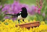 Magpie Perched on Plant-Pot in Garden Photographic Print