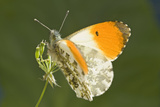 Orange Tip Butterfly Resting on Cow Parsley Photographic Print