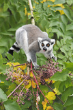 Ring-Tailed Lemur Feeding on Ripened Berries Photographic Print