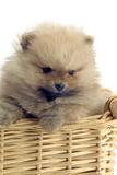 Pomeranian Photographic Print