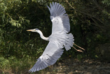 Grey Heron Flying with Legs Trailing Photographic Print