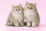 Chinchilla Kittens Photographic Print