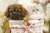 Persian Cat with Tibetan Spaniel Puppy in Basket Photographic Print