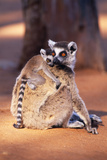 Ring-Tailed Lemur with Baby on Back, on Ground, Endemic Photographic Print