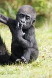 Gorilla Baby Animal Portrait Photographic Print
