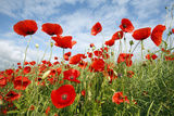 Common Poppy Growing in Oil Seed Rape Crop Fotografie-Druck