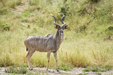 Greater Kudu Male Standing at Approach to Water Hole Photographic Print