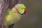 Rose-Ringed / Ring-Necked Parakeet in Tree Photographic Print