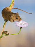 Harvest Mice on Bindweed Photographic Print