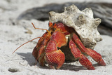 Red Hermit Crab Emerging from its Shell Photographic Print