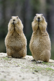 Black-Tailed Prairie Dog Pair Nibbling on Food Photographic Print