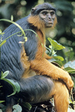 Red Colobus Monkey Female Sitting Photographic Print