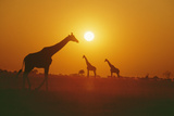 Giraffe Silhouettes Photographic Print