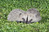 Hedgehog 2 Young Animals on Garden Lawn Photographic Print