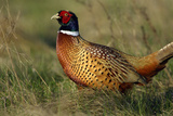 Pheasant Male, Cock on Fallow Land Photographic Print