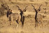 Greater Kudu Three Males Standing Photographic Print