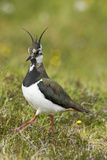 Lapwing Photographic Print