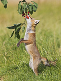 Red Fox Cub Jumping to Take Cherries from Tree Photographic Print