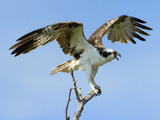 Osprey with Open Wings Photographic Print