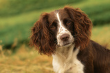 Springer Spaniel Dog Close-Up Head Photographic Print
