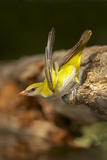 Golden Oriole Female Drinking from Forest Pool Photographie