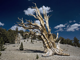 Bristlecone Pine Trees Very Ancient Standing Photographic Print