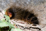 Woolly Bear Caterpillar Feeding on Grasses Photographic Print by Alan J. S. Weaving