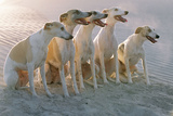 Whippets Group of Sandy Beach Photographic Print