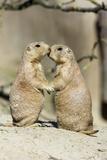 Black-Tailed Prairie Dog Pair Showing Affection Behaviour Lámina fotográfica