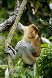 Proboscis Monkey Adult Male Waking Up Photographic Print by Andrey Zvoznikov