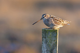 Common Snipe, Adult Perching on Fence Post Photographic Print