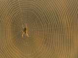 Cross Spider on Web Photographic Print