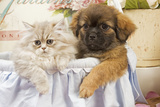 Persian Cat with Tibetan Spaniel Puppy Photographic Print