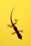 A Juvenile Common (Spiny-Tailed) House Gecko Hunts Fotografisk tryk af Andrey Zvoznikov