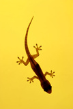 A Juvenile Common (Spiny-Tailed) House Gecko Hunts Photographic Print by Andrey Zvoznikov