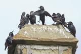 Common Starling Flock Photographic Print