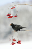 Blackbird Male Feeding on Guelder Rose Berries in Winter Photographie